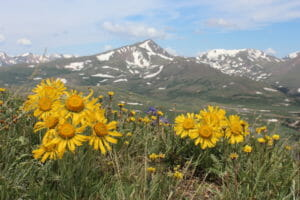 Flowers bloom on the slopes of Colorado's Rocky Mountains.