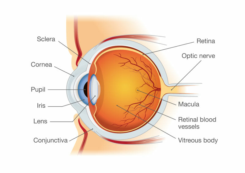 This diagram shows a cross section of the human eye including sclera, cornea, pupil, iris, lens, conjunctiva, retina, optic nerve, macula, retinal blood vessels, and vitreous body.