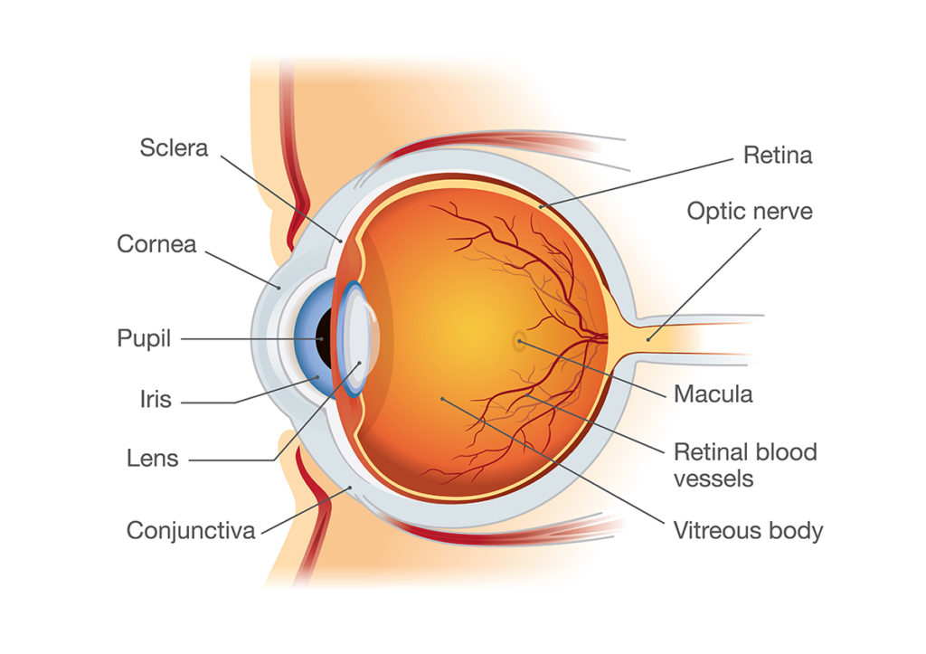 A cross-sectional diagram of the human eye.  Highlighted features include sclera, cornea, pupil, iris, lens, conjunctiva, retina, optic nerve, macula, rental blood vessels, and the vitreous body.